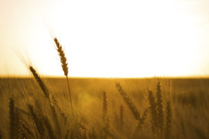 Wheat Summer